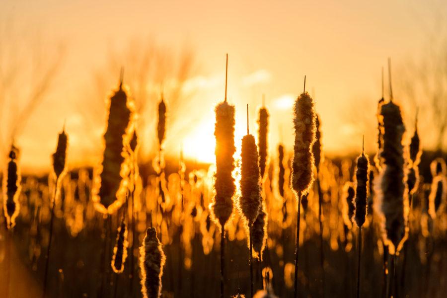 Sun shines behind cattails at the UW Arboretum